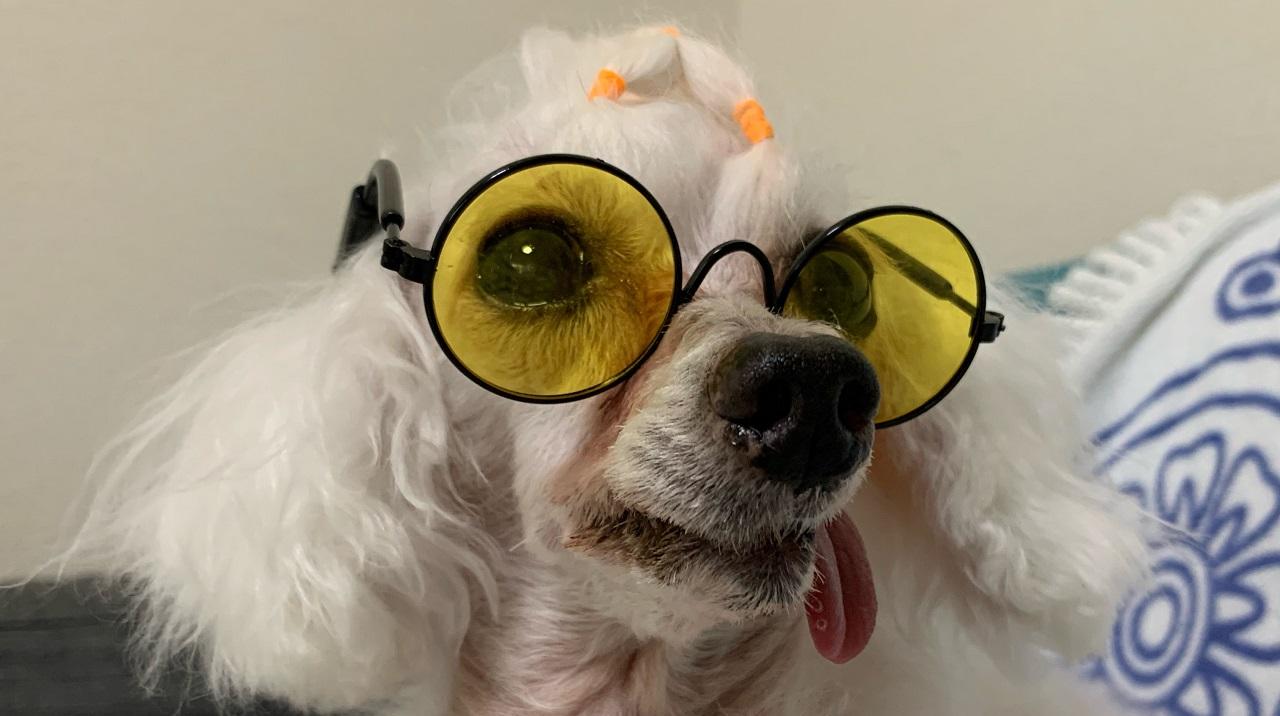 ダイソーのペット用メガネをかけるトイプードル