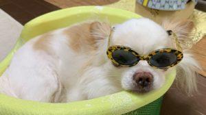 ダイソーのサングラスをかける我が家のチワワ