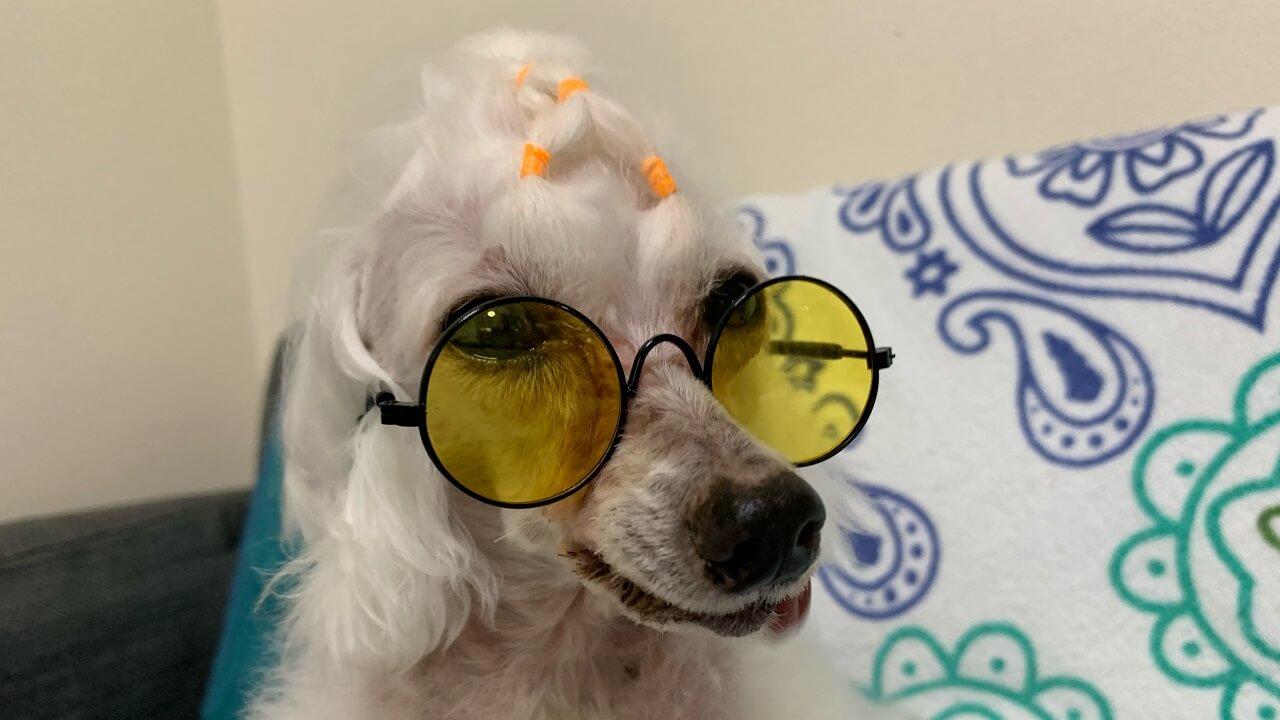 ダイソーのペット用サングラス&メガネが可愛い!【犬・猫用】