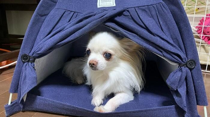 ダイソーのテント型ペットハウスに入る京介(チワワ)の画像