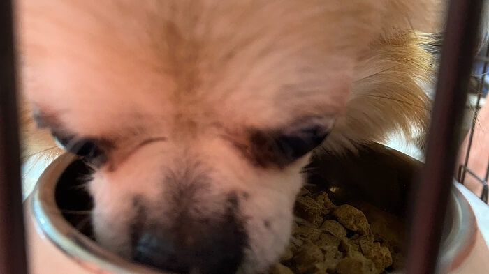 ドッグフード工房の馬肉のサンプルを食べるチワワの小太郎の写真