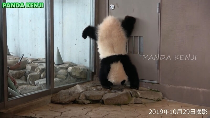 ジャイアントパンダ「彩浜(さいひん)」の三点倒立の画像