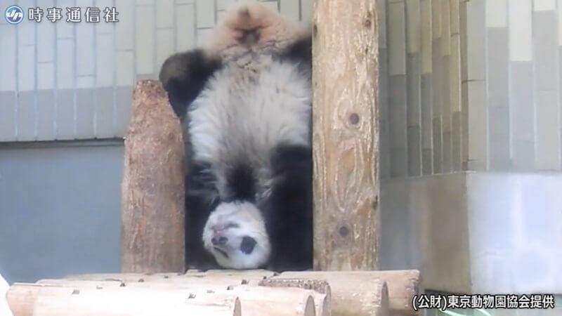 ジャイアントパンダ「シャンシャン」の三点倒立の画像