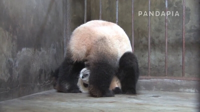 ジャイアントパンダ「名前が不明」の三点倒立