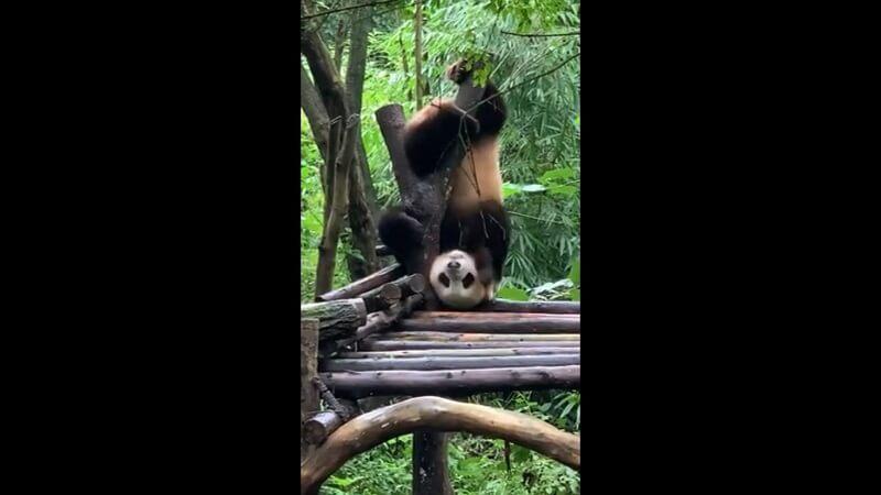 ジャイアントパンダ「名前が不明」の三点倒立 その2