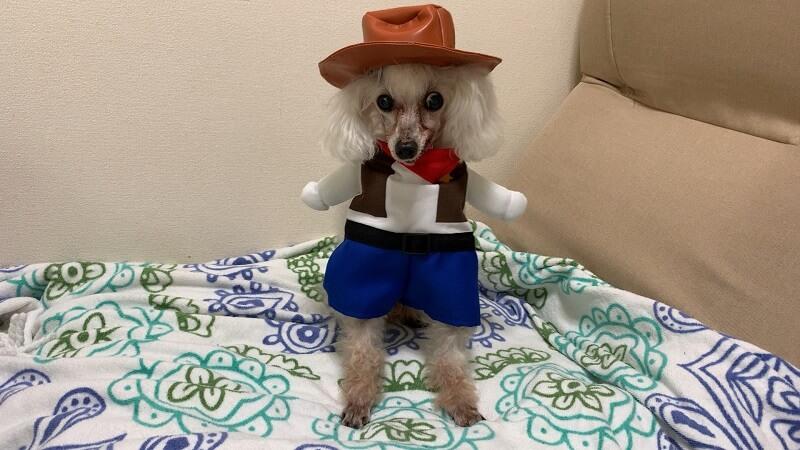 ダイソーの犬服|着ぐるみ『カウボーイ』は手が可愛い!