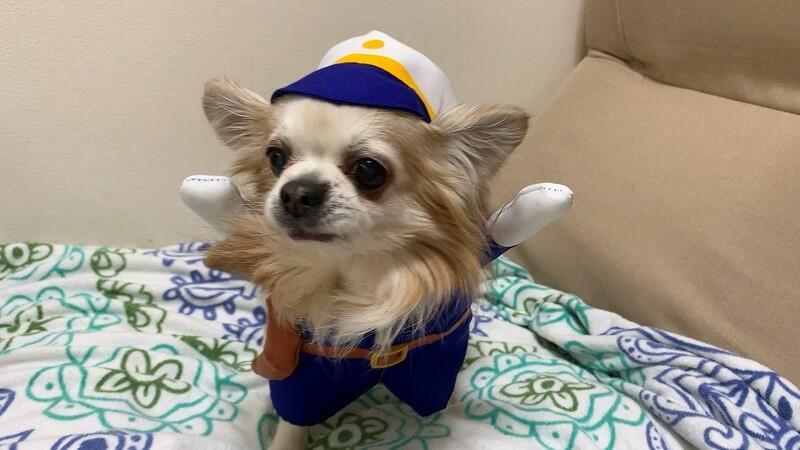 ダイソーの犬服|着ぐるみ『ポリス』は帽子もいい感じ