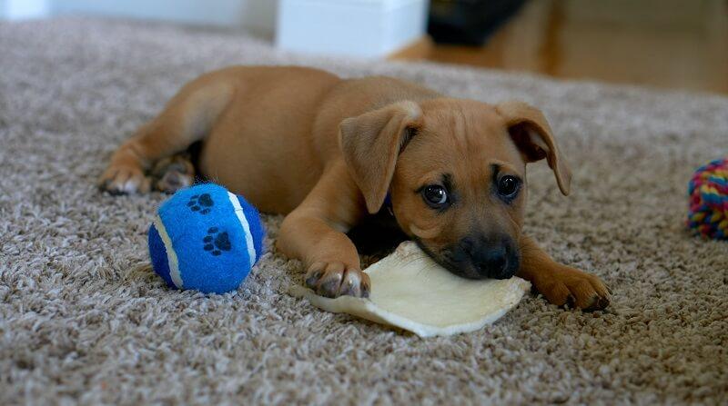 オモチャで遊ぶ子犬