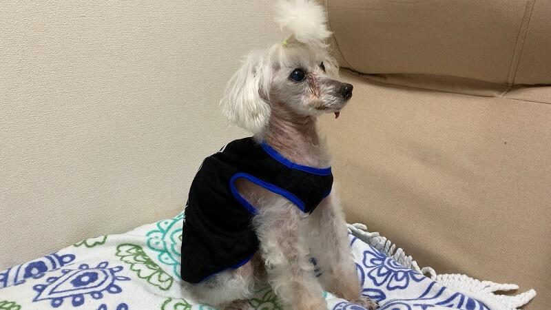 ダイソーの100円ペット服を着るトイプードルのマックさん