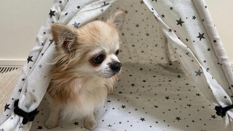 ダイソーのペット用テントに入る小太郎