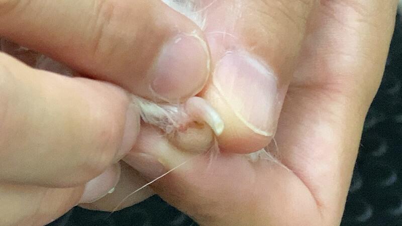 ダイソーの犬用爪切りでの断面