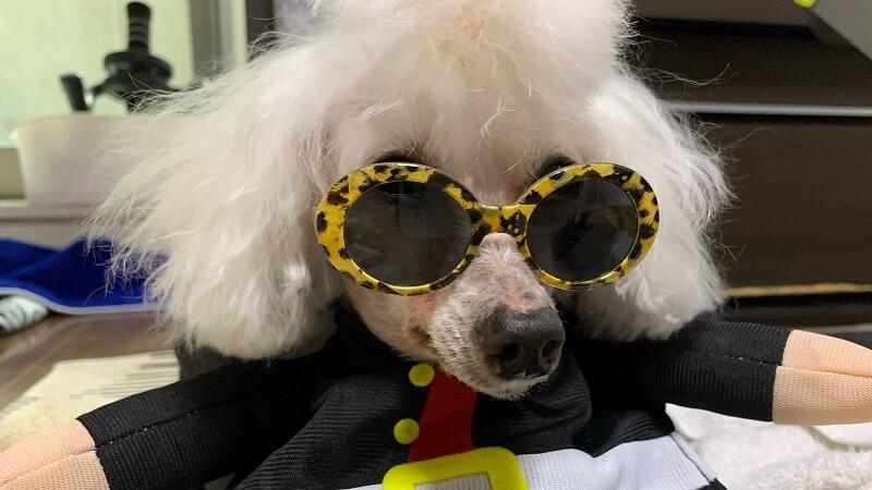 ダイソーのペット用サングラス&ダイソーの犬服