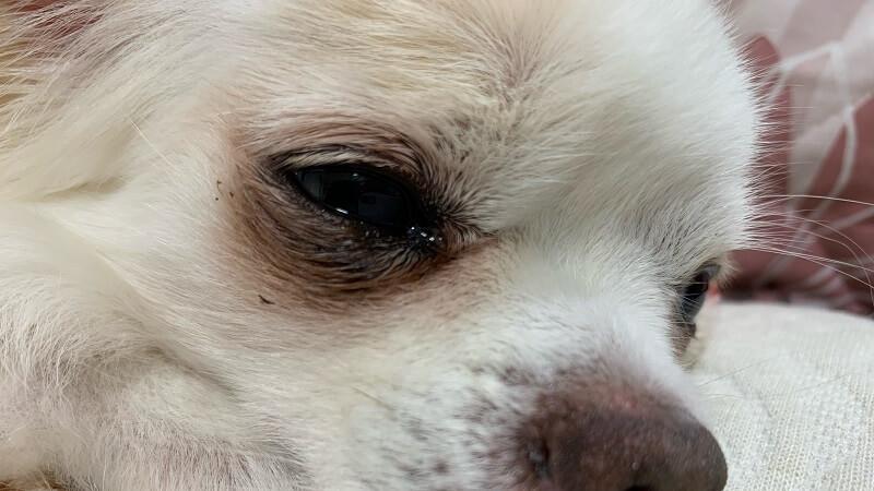 ダイソーの犬猫用ノミ取りコームは毛の細かい汚れを取るのに便利