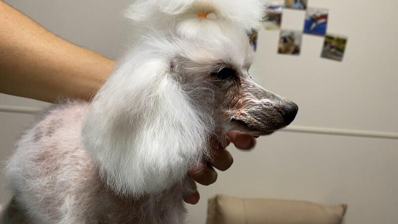トリミング前のトイプードルの耳の毛の写真