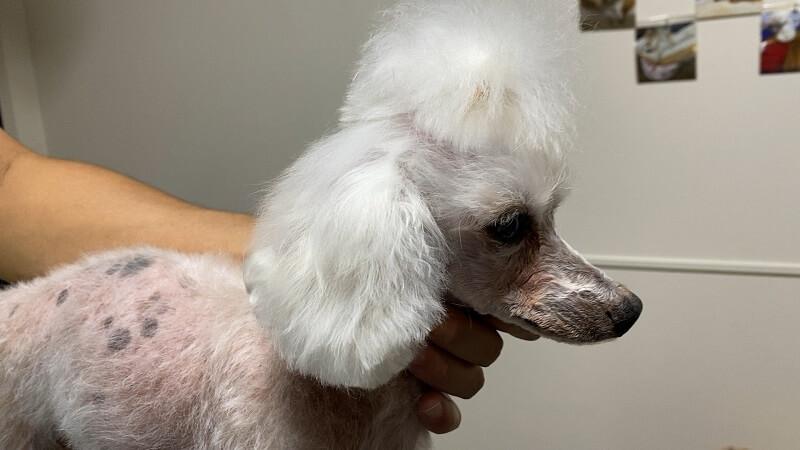 ダイソーの犬猫用カットバサミでトリミング後の耳の毛