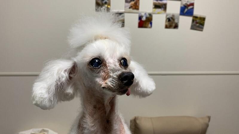 ダイソーの犬猫用カットバサミでトリミング後のお顔